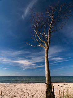 Uta Naumann: Baum am Weststrand - Ostsee - Darss - Leinwandbild auf Keilrahmen