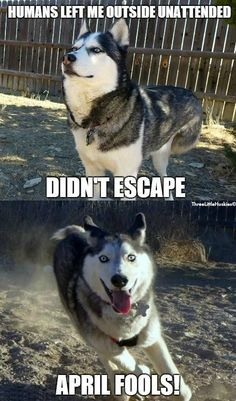 April Fools Siberian Husky Style. (We're thankful for Invisible Fence! No more chasing our two huskies all around the neighborhood!)