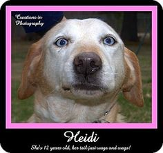 """Meet HEIDI - one of our new group of senior """"farm-dogs"""" that arrived at the shelter late last week.  Will you please open up your home and your heart to one of these wonderful, older dogs??  They have plenty of love to give!"""
