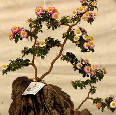 beautiful chrysanthemum bonsai | Bonsai | Flickr - Photo Sharing!