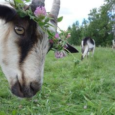 blessed wild apple girl - neatt: Not a model the camera just went off. Farm Animals, Animals And Pets, Cute Animals, Cute Goats, Goat Farming, Baby Goats, Mundo Animal, Fauna, Belle Photo