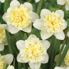 Double Daffodil Ice King have wonderful crisp white blooms with creamy-white, fully double centres Narcissus Bulbs, Daffodil Bulbs, Bulb Flowers, Daffodils, Garden Bulbs, Planting Bulbs, Beautiful Nature Scenes, Beautiful Flowers, Spring Perennials