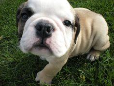 My super-cute English Bulldog, Nigel, on the day I got him.