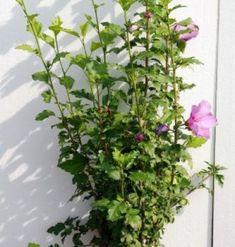 Hibiscus Syriacus 50-60cm Hibiscus, Gardens, Decor, Plant, Decoration, Outdoor Gardens, Decorating, Garden, House Gardens