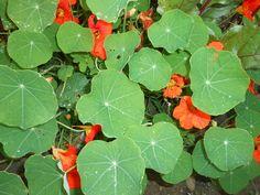 Jak se pěstuje Lichořeřišnice, jaké má účinky a jak ji lze uchovat Plant Leaves, Herbs, Vegetables, Garden, Plants, Aromatherapy, Garten, Lawn And Garden, Herb