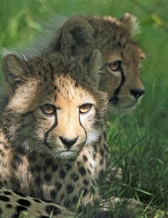 jaws-and-claws: Cheetahs by j.a.kok on Flickr.