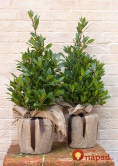 Buy bay laurel (pyramid) Laurus nobilis - Pyramidal pruned bay: Delivery by Waitrose Garden White Planters, Wooden Planters, Planter Pots, Container Plants, Container Gardening, Laurus Nobilis, Winter Planter, Language Of Flowers, Garden Care