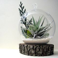 Cedar Sprig Air Plant Terrarium by seaandasters on Etsy