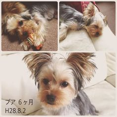 * プア♡ 今日で6ヶ月。 歯も徐々に生え変わり、 毛も黒色がほとんどなくなりました。 * お散歩は相変わらず…😅 ゆっくりやろうね * * #犬#いぬ#イヌ#子犬#ヨークシャテリア#ヨーキー#ヨーキーlove#ヨーキー倶楽部#ヨーキー大好き#ヨークシャテリア大好き#愛犬#わんこ#ワンコ#犬のいる暮らし#犬のいる生活#犬好き#プア#ハワイ語#女の子#癒し#いぬ部#家族#6ヶ月#ペット#パピー#puppy#dog#Instadog#yorkshireterrier #yorkie