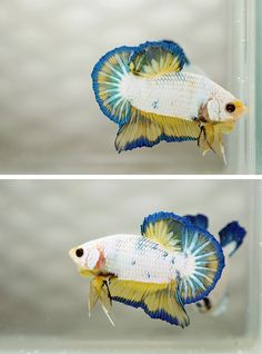 One of the coolest halfmoon plakat betta fish I have seen.
