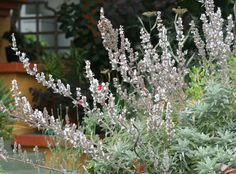 """Salvia apiana """"White Sage"""" - x - prune flower spikes after bloom to encourage compactness - heat & drought loving, low/no summer water - herbal & medicinal uses Salvia, Sage Plant, California Native Plants, Dry Garden, Moon Garden, Blooming Plants, Flowering Plants, Growing Seeds, Landscaping Plants"""