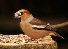 De vogel kan 18 cm groot worden en heeft een zeer stevige, driehoekige snavel waarmee zelfs kersepitten kunnen worden gekraakt. Ook de kop en hals zijn dik.