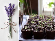 Vypestujte si levanduľu zo semienok. Je to lacné a jednoduché. Plants, Plant, Planets