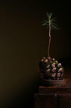 Bonsai diary-the experimental bonsai diary- Second year, pine cones pine.