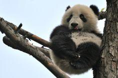 Panda boy Fu Bao, 01. May 2014, Zoo Vienna