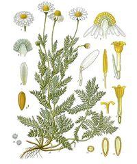 CAMOMILLA ROMANA Anthemis nobilis L. (Asteraceae)