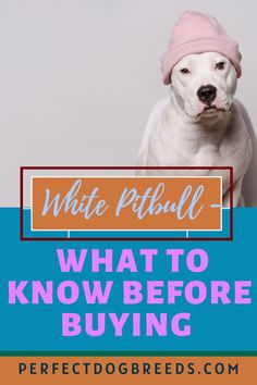 American Pitbull Terrier is well known to be found in most common coat colors, except white is a rarer find. Make sure the puppy's color is white and not a form of albinism. Other than its unique color, the white pitbull's personality, dietary, grooming and exercise needs are not different from its other color counterparts. It's training response is also the same as the other color puppies. A great family dog. Learn more… #whitepitbullcareguide #whiteamericanpitbullterrierinfo #whitepitbullworld Large Dog Breeds, Large Dogs, Pitbull Mix Breeds, White Pitbull, Albinism, American Pitbull, Most Popular Dog Breeds, White Dogs, Mixed Breed