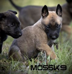 Belgian Malinois Puppies - Moss K9 #cute #baby #animals #puppy #puppies