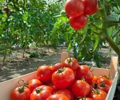 Growing plump, juicy tomatoes is the dream of many gardeners. Even with optimal weather and soil conditions, an otherwise healthy crop can be ruined by tiny, hungry bugs. Culture Tomate, Keep Bugs Away, Plant Bugs, Baby Booties Free Pattern, Bug Off, Tomato Farming, Canning Tomatoes, Tomato Plants, Growing Tomatoes