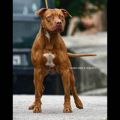 Breed ➡️ AMERICAN PIT BULL TERRIER #americanpitbullterrier . Owner @itanioliveira 🇧🇷 . @caniltavares @downloader_ __ Tavares Hooch of Oliveira's . . . Tavares Arizona of Cruz X PR Seven Sins Jigsaw DNA-P . . . Owner @itanioliveira 🇧🇷 . Hooch, American Pit, Pitbull Terrier, Pit Bull, Dna, Arizona, Animals, Pitbull, Animales