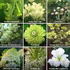 Green Up Your Garden with Chinese Snowball viburnum, Envy zinnia, nicotiana langsdorffii, Lenten rose, Little Lime hydrangea, Spring Green tulip, Acadian Miss Louisiana iris, Pineapple lily, Helena's Blush euphorbia