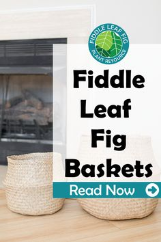 I love displaying my fiddle leaf fig trees in seagrass belly baskets, and here at Fiddle Leaf Fig Resource Center, we love them so much that we created our own baskets, specifically designed to complement your fiddle leaf fig for the perfect blend of style and functionality. View our new small and large baskets on Amazon! Here's everything you need to know about these top-quality baskets.