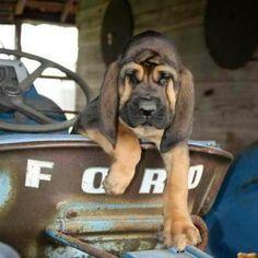 Bloodhound- My next puppy