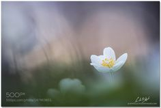 wood anemones at springtime by LucVanDeWeghe