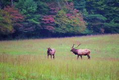 Hints of fall color (Sept 25) with Elk in Cataloochee Valley in the Great Smoky Mountains of NC!