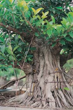 Approaches for Cultivating Ficus Bonsai Tree Types, Indoor Bonsai Tree, Bonsai Art, Bonsai Plants, Bonsai Garden, Garden Pots, Bonsai Trees, Ficus Ginseng Bonsai, Ficus Microcarpa