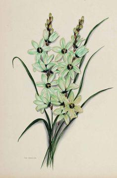 Album   Bild Nr.11 Botanical Flowers, Botanical Prints, Painting & Drawing, Flower Art, South Africa, Poster, Album, Drawings, Illustration