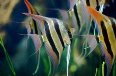 Freshwater Angelfish pterophyllum scalare information Freshwater Zebra striped Angelfish for sale and where to buy - Aquaticmag (6)