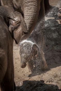 Qiyo, the Elephant Calf