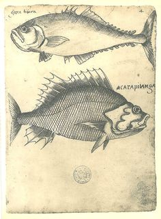 Drawing of Fishes of Maranhao Brazil Natural History by carambas, $16.00