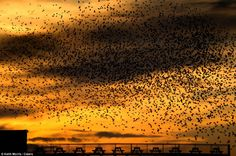 Decline: The spectacle is becoming less common, with the population of starlings dropping 70 per cent