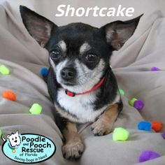 Shortcake is a 5-year-old, 8-pound Chihuahua girl. This girl is just as sweet as her name implies – you simply won't find a girl sweeter than her!  Poodle and Pooch Rescue - Adoptable Dogs - www.pprfl.org