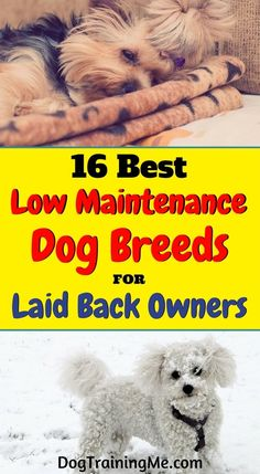 Low maintenance dog breeds that are perfect for awesome laid back people like you! Having a dog doesn't have to be a full time job. Find the perfect breed for you by reading this article!