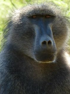 Male Chacma Baboon - Franschoek Ape Monkey, Baboon, Primates, Animals, Animales, Primate, Animaux, Animal, Animais