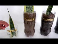 zahrádka Snake Plant Leaf Propagation Comparison in Water and Different Kinds of Soil (Shocking Snake Plant Propagation, Plant Cuttings, Propagating Succulents, Plants Grown In Water, Water Plants, Snake Plant Care, Kinds Of Snakes, Cactus, Inside Plants