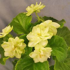 I've never had a yellow A. violet. -- Kre. Green Horizon - The Violet Barn - African Violets and More