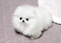 Ok?? | Tiny Pomeranians Are The Secret To World Peace
