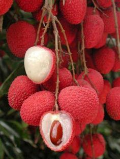 "Lychee fruit nutrition facts Delicious and juicy Lychee or ""Litchi"" reminds you the arrival of summer. Botanically, this exotic fruit belongs to the family of Sapindaceae and named scie… Fruit And Veg, Fruits And Vegetables, Fresh Fruit, Kids Fruit, Seasonal Fruits, Lychee Fruit, Lychee Tree, Lychee Juice, Fruit Nutrition Facts"