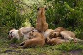 by Wayne Sentman #lioncub #lions #safarious