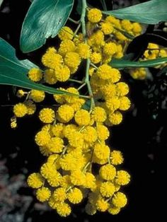 Golden Wattle (Acacia pycnantha) is Australia's national flower and commonly known as Acacias. The Golden Wattle flowers have five very small petals. Learn more about Australia National Flower Australian Wildflowers, Australian Native Flowers, Australian Plants, Le Mimosa, Australian Native Garden, Native Australians, Plant Information, Australia Day, Western Australia
