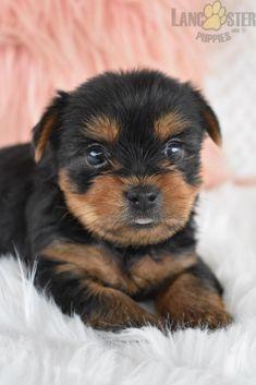 #YorkshireTerrier #Charming #PinterestPuppies #PuppiesOfPinterest #Puppy #Puppies #Pups #Pup #Funloving #Sweet #PuppyLove #Cute #Cuddly #Adorable #ForTheLoveOfADog #MansBestFriend #Animals #Dog #Pet #Pets #ChildrenFriendly #PuppyandChildren #ChildandPuppy #LancasterPuppies www.LancasterPuppies.com Mans Best Friend, Best Friends, Hugs And Cuddles, Lancaster Puppies, Yorkshire Terrier Puppies, Animals Dog, Puppies For Sale, Puppy Love, Cuddling