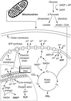 Introduction to Cellular Respiration and great notes and diagrams on many other biology topics. Biology Classroom, Biology Teacher, Cell Biology, Molecular Biology, Science Biology, Teaching Biology, Medical Science, Science Education, Life Science