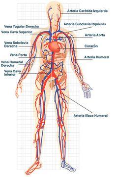 El sistema circulatorio o aparato circulatorio, también llamado cardiovascular, es una vasta red de órganos y vasos que son responsables del flujo sanguíne