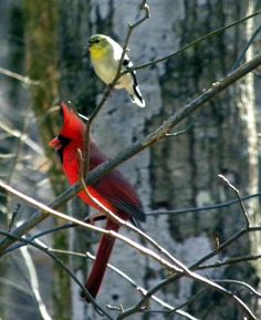 Dana Downs took this photo and posted to her Facebook page. Mr. Cardinal looks so awesome! I think that is Mr. Goldfinch with him.