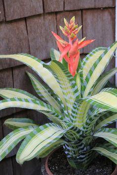 BirdCam on Cheltenham: Bromeliads in bloom