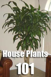 house plants 101 - Dracaena Mass Cane